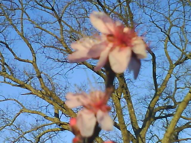 peach blossom and oak tree
